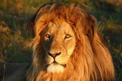addo-park-lion-experience